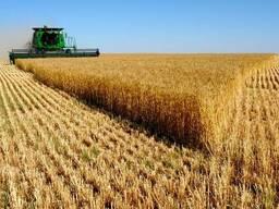 Пшеница мягкая 3-4-5 классы - фото 4