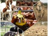 Boer goats for sale at good prices - photo 1