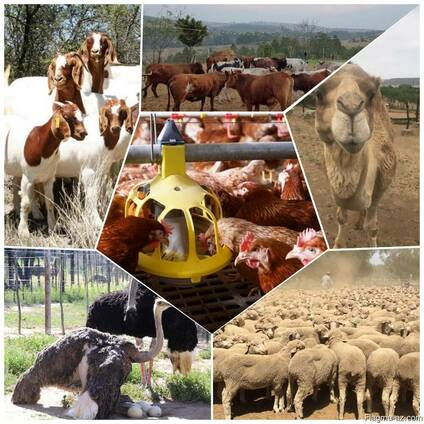Boer goats for sale at good prices