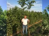 Chandler -Fernor Walnut Saplings (Tree) - photo 5