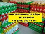 Инкубационное яйцо РОСС 308 - фото 2