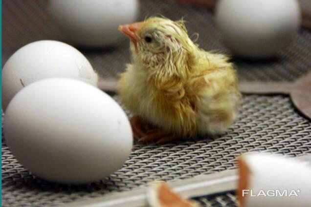 Инкубационные яйца бройлеров Кобб 500 и Кобб 700 и Росс 308