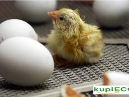Инкубационные яйца яичных и бройлерных пород кур