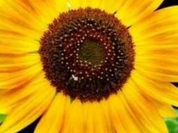 Продам элитную генетику посевных семян, кукурузы, подсолнечн