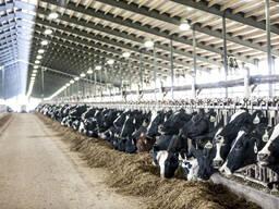 Продажа нетелей, бычков молочных и мясных пород из Прибалтики (Латвия, Литва, Эстония)