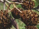Шишки ольховые, ольха соплодия, ольха, шишки ольхи - photo 5