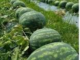 Сухофрукты, фрукты, овощи и венники из Узбекистана - photo 4